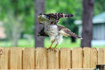 2_21_21 Red shoulder hawk hunting for food