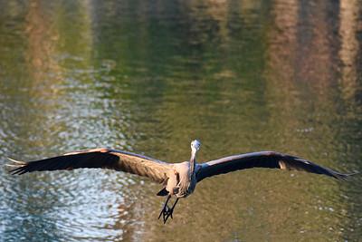 1_20_21 Blue Heron
