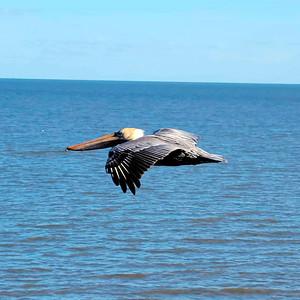7_6_21 Gliding Pelican in Cedar Key