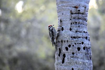 7_31_21 Woody woodpecker