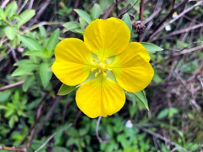 7_10_21 Peruvian Primrose