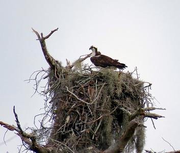 7_15_21 Osprey at Eagle Lake Park