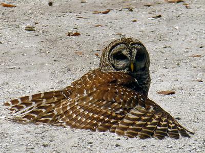 7_9_21 Barred Owl Sunning Itself On Shell Path