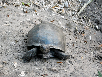 7_12_21 Florida Turtle basking in the sun