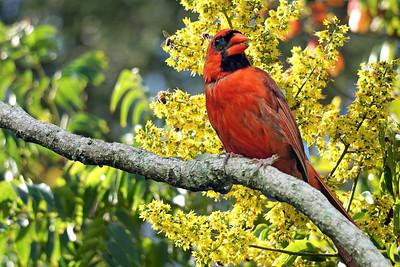 7_29_21 Cardinal in Golden Raindrop tree