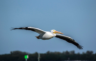 7_27_21 White Pelican on the glide