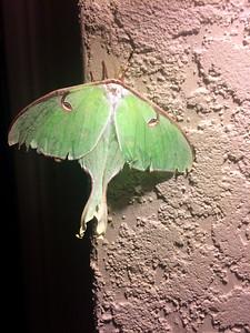 7_25_21 Rare endangered Luna moth