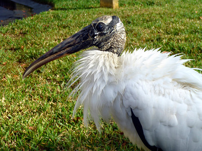 7_22_21 Wood Stork