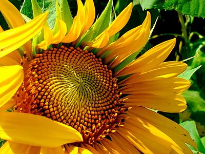 7_11_21 Sunflower in bloom