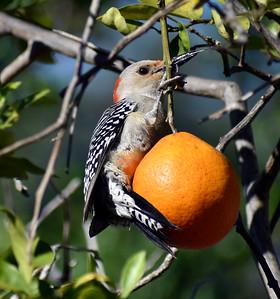 7_18_21 Woodpecker on an Orange