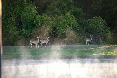 7_1_21 Deer in mist