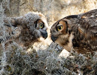 6_3_21 Mom feeding owlet