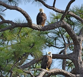 6_20_21 Bald Eagles