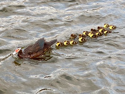 6_11_21 Baby Muscovy ducks on the water for the first time