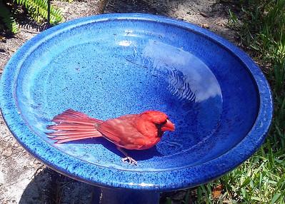 6_22_21 Cardinal in my bird bath
