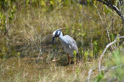 6_30_21 Yellow Crowned Night Heron