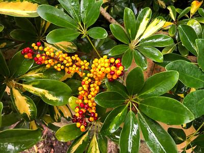 6_17_21 Schefflera Bloom
