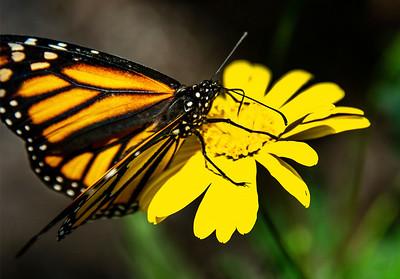 6_15_21 Backyard  butterfly