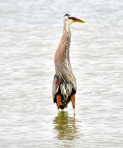 6_6_21 Great Blue Heron
