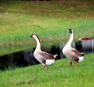 6_1_21 Two geese