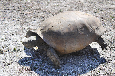 6_23_21 Gopher Tortoise eating