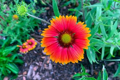 3_17_21 Indian Blanketflower