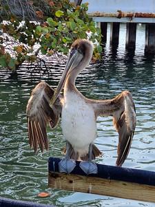 3_7_21 Friendly Pelican drying his wings
