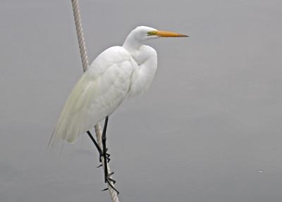 3_26_21 White Egret on a Foggy Day