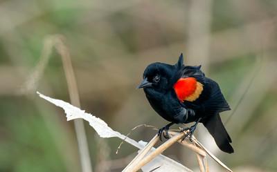 3_22_21 Red Wing Blackbird