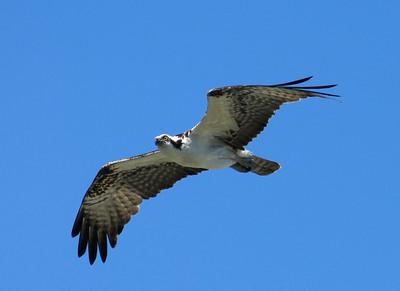 3_15_21 Osprey fly by