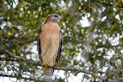 3_10_21 Red-Shouldered Hawk