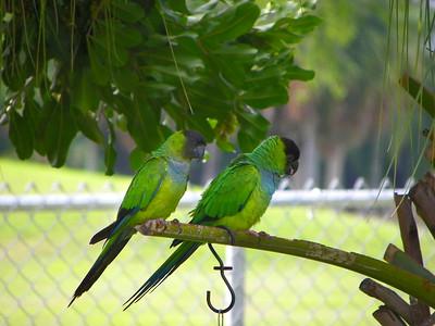 3_6_21 Nanday Parrots