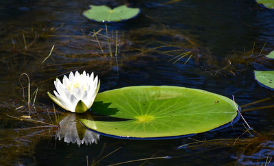 3_25_21 Lilly pad in afternoon sun