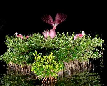 3_11_21 Fishing Surprise, Roosting Roseate Spoonbills
