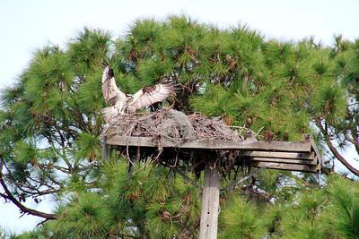 5_21_21 Osprey landing on nest