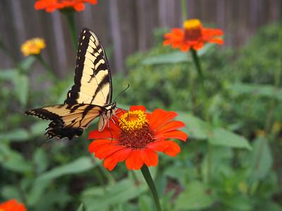 5_3_21 Eastern Tiger Swallowtail Nectars on Zinnia