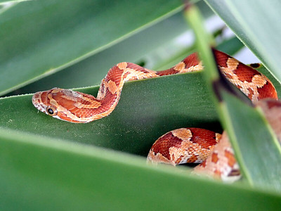 5_24_21 Small corn snake hiding in a yucca plant