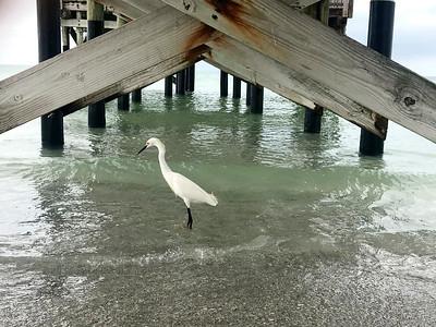 5_10_21 White Egret Beneath Pier