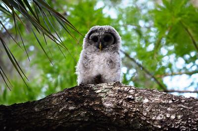 5_25_21 Baby Owl
