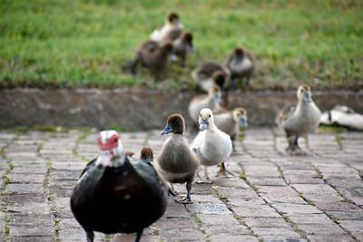 5_14_21 Duckling Parade