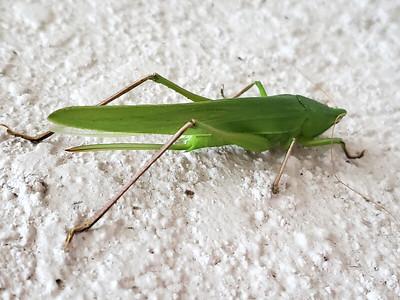 5_13_21 Katydid or Bush Cricket