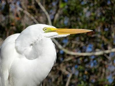 5_18_21 Great Egret at Boyd Hill Nature Preserve