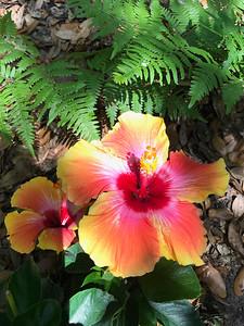 5_4_21 Fiesta hibiscus