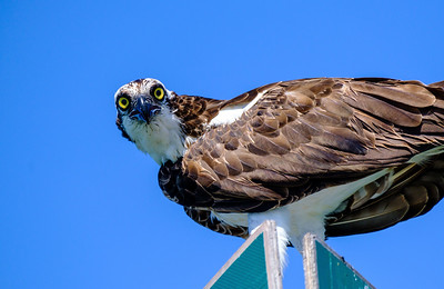 5_15_21 Osprey Close Up - Don't Steal my Fish
