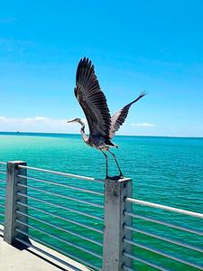 5_9_21 Great Blue Heron