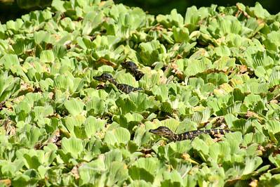 5_26_21 Newly Hatched Baby Gators Corkscrew Swamp Sanctuary