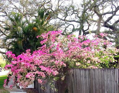 5_19_21 Bougainvillea in full bloom