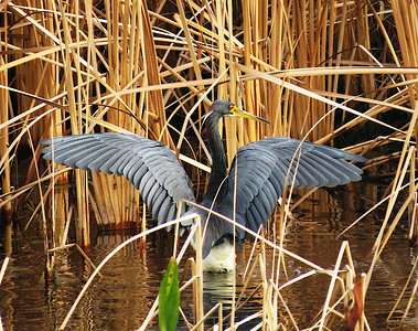 5_28_21 Tricolored Heron right after landing