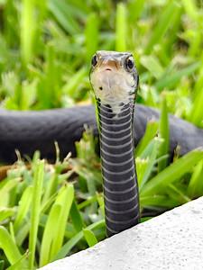 5_23_21 Curious Black Snake