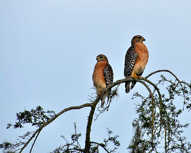 9_22_21 Pair of Red-Shouldered Hawks on a date
